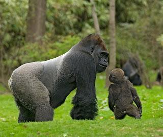 gorila Gorilla gorilla mamíferos de Africa en peligro de extincion