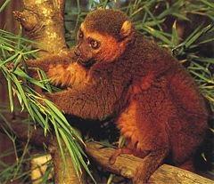 lemur dorado del bambu Hapalemur aureus