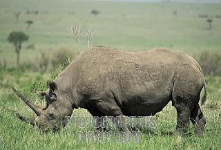 rinoceronte negro Diceros bicornis