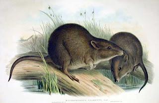 potoro de Gilbert Potorous gilberti mamiferos de Australia en peligro de extincion