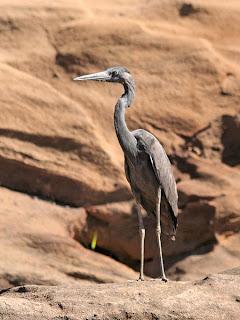 garza malgache Ardea humbloti Madagascar endangered bird