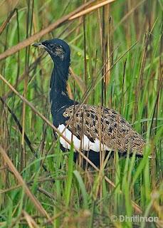 sisón bengalí Houbaropsis bengalensis aves de Asia en peligro de extincion