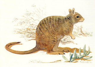 Banded hare Wallaby