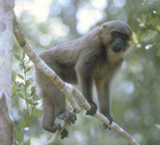 Moor macaque