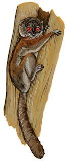 lemur jugueton norteño Lepilemur septentrionalis