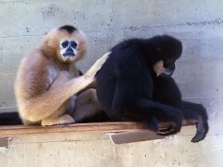 Southern white chekeed gibbon