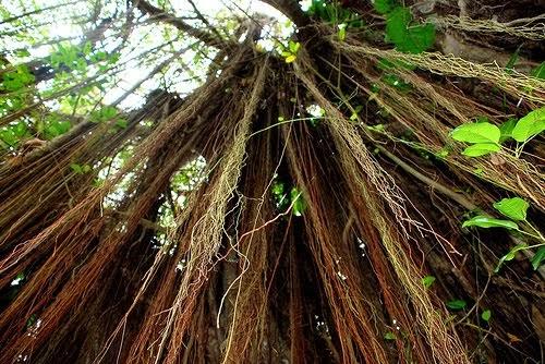 A Bajan Tour Girl Exploring Barbados Barbados Trees Part 1
