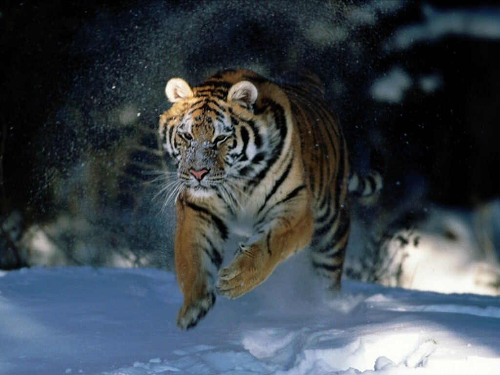 vacation: tiger wallpapers-animal wallpapers