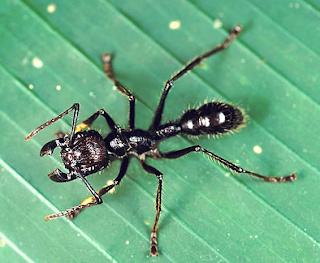 Resultado de imagen de imagenes hormiga bala