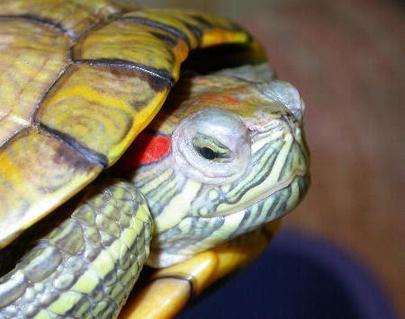 Il mondo degli animali le tartarughe d 39 acqua dolce for Acquario tartarughe grandi