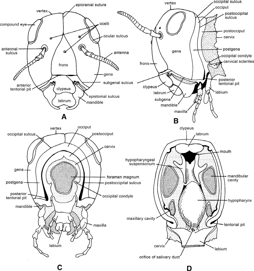 Entomology For Students Insect Head