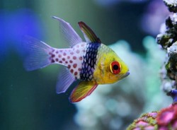 Aquarium Fish Of The Month - Spotted Cardinalfish