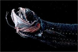 Scaly Dragonfish