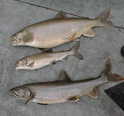 northern squawfish fish index lake trout salvelinus namaycush