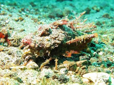 northern squawfish fish index sea goblin inimicus didactylus