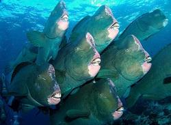 Green Humphead Parrotfish