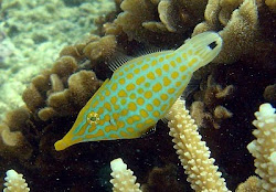 Longnosed Filefish