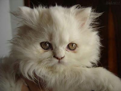 cómo quitar los nudos de pelo de tu gato | mascotas