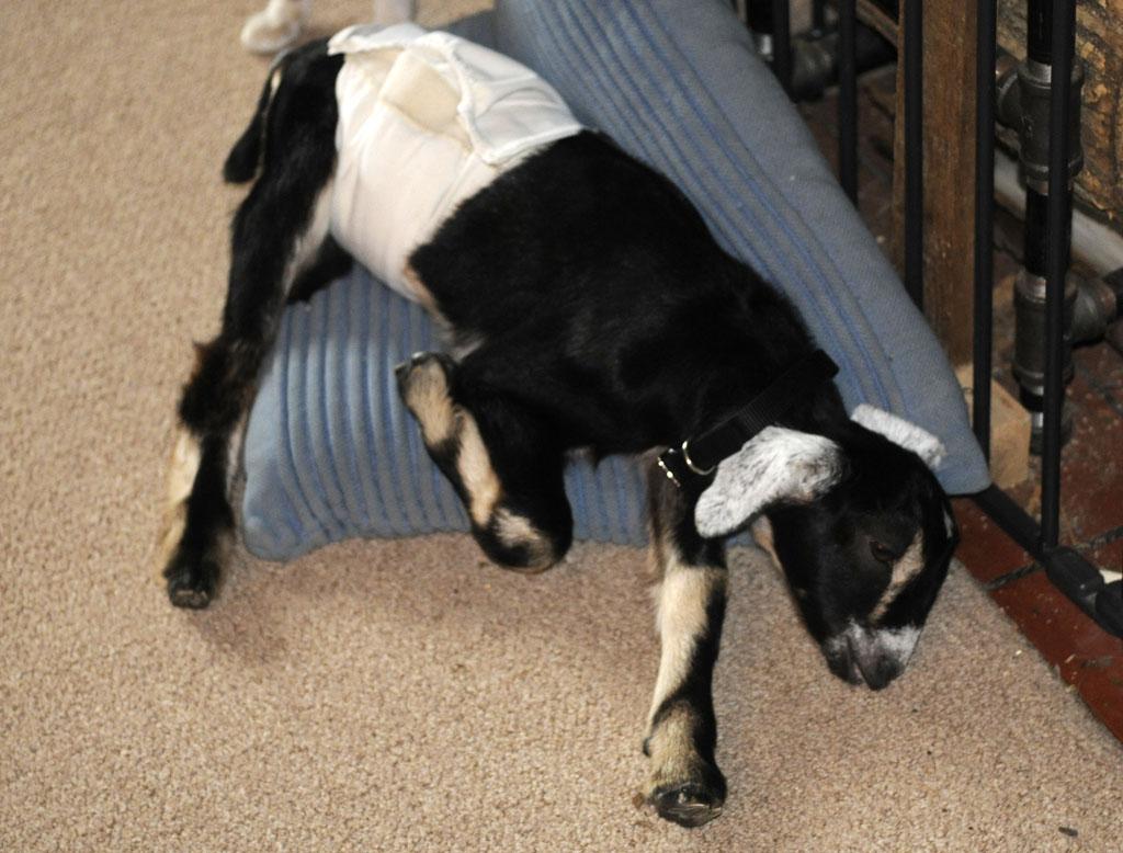 suustainable: Goat Dia...
