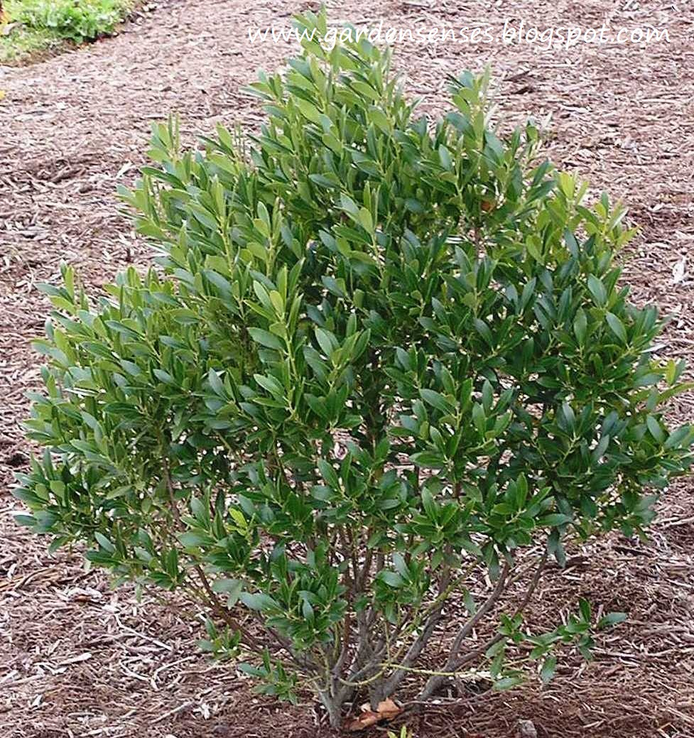 Garden Sense: Evergreen Shrubs