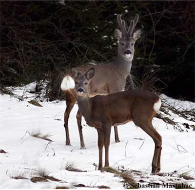 Deer and Young Stag