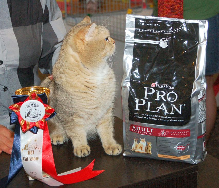 Золотые британские кошки - FAYCAT, BO,NA.MU