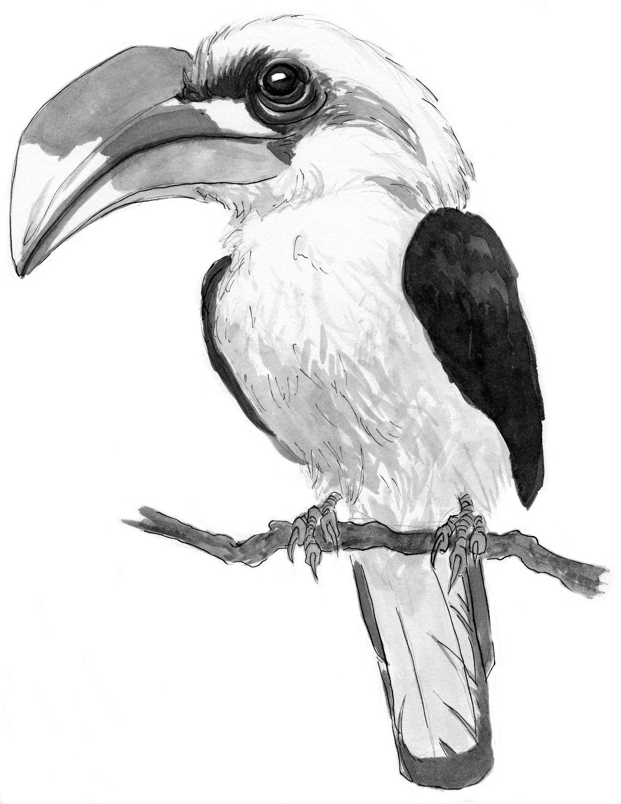 Hornbill Bird Drawing