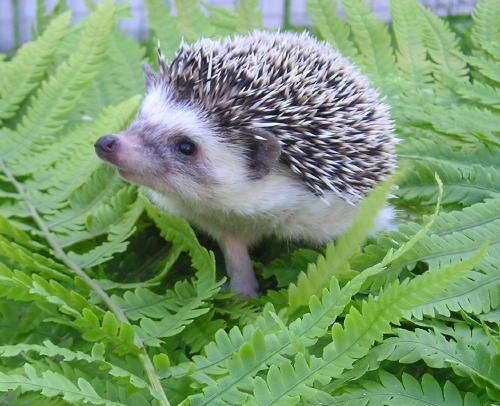 Rupa hedgehog yang cute!! sumber: panitia