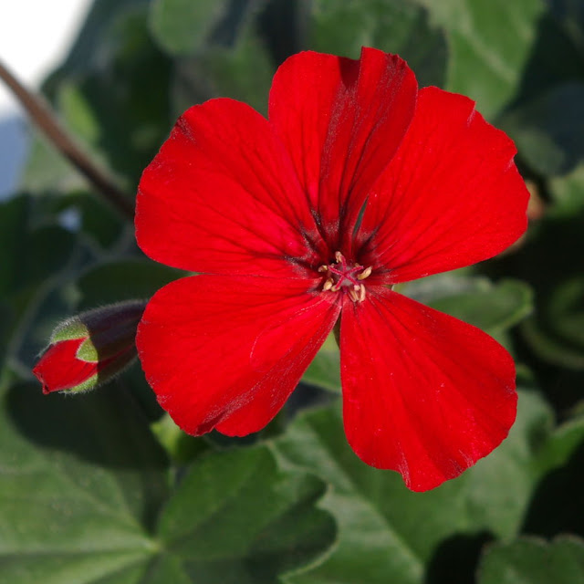 Pelargonium Caliente Fire