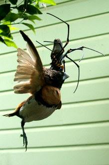 BunyipCo: Spider Eatin...
