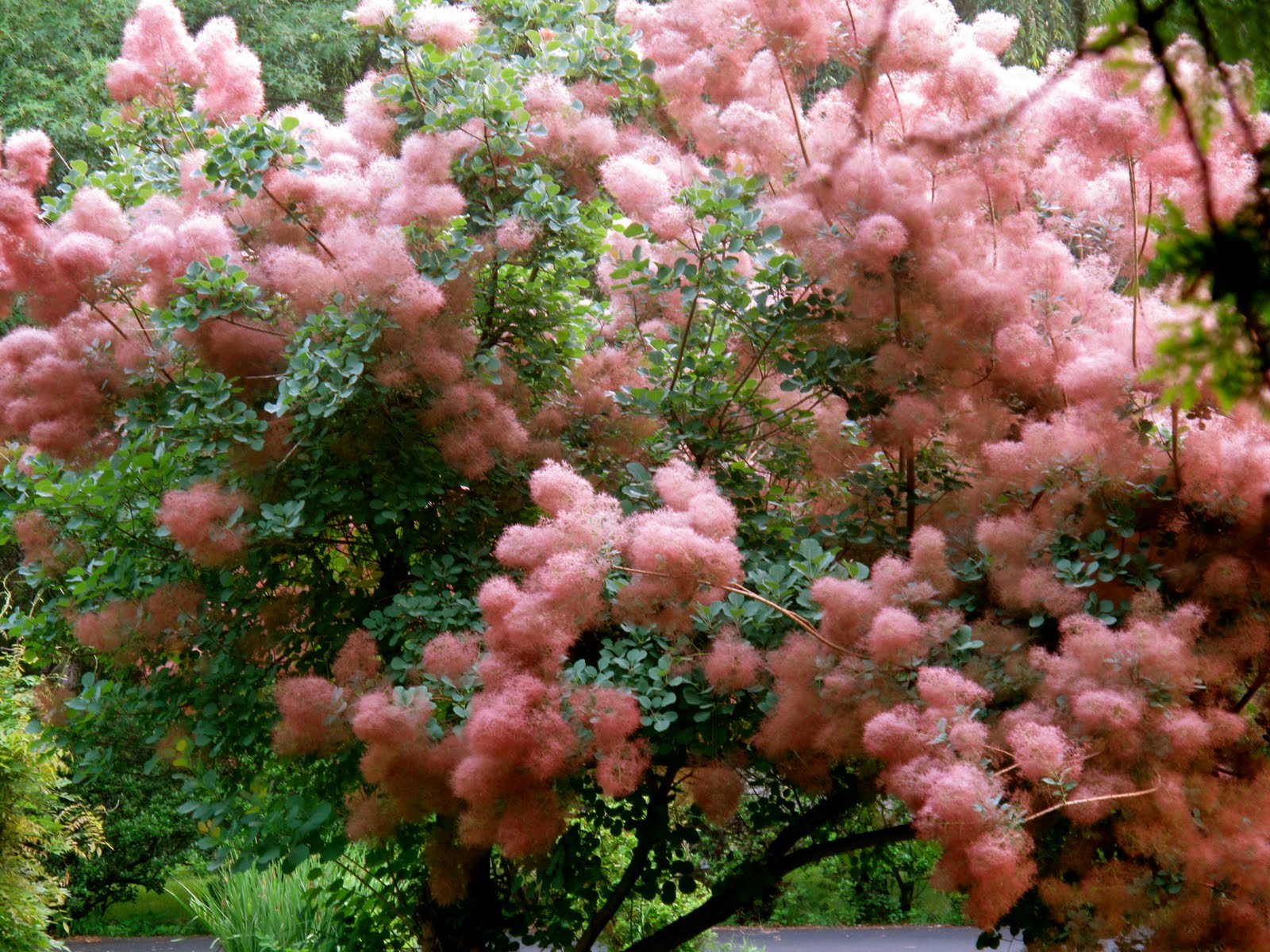 Shuttering Heights: Cotton Candy Tree