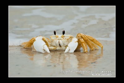 So Common, So Rarely Seen - The Florida Ghost Crab