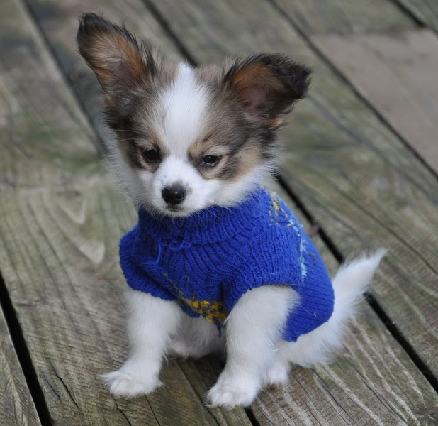 Road's End Papillons : When Do Papillon Puppies Loose