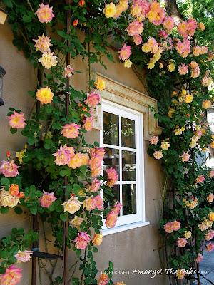 Amongst The Oaks Roses New Year and Josephs Coat