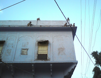 Monkeys on Rooftops - Pushkar lanes
