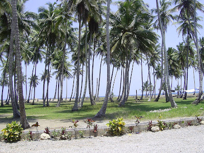 dominican dreaming what big nuts dont sleep under the coconut tree