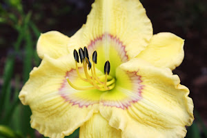 "Daylily from ""Griffin Farms"""