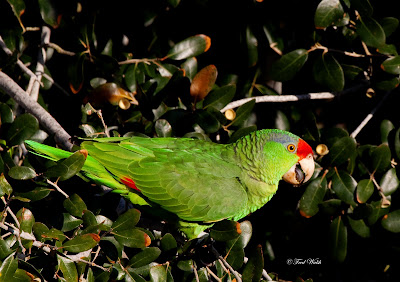 Fred Walsh Photos Red Crowned Parrot