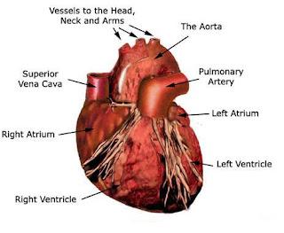 juwita blog health fitness tips facts cardiovascular