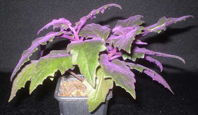 Plants are the Strangest People: List: Houseplants With ... on red fuzzy plant, purple green house plant, white fuzzy house plant, purple flower house plant, purple vine house plant, purple passion plant,