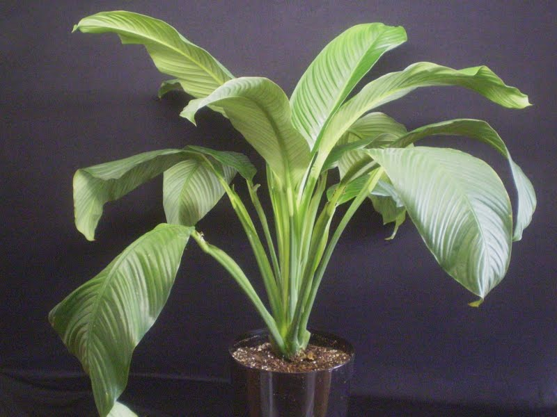 Plants Are The Strangest People List Houseplants With Large Broad Leaves