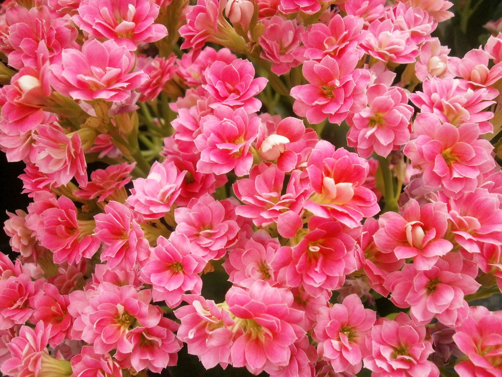 Plants are the Strangest People: Pretty pictures: Kalanchoe ... on kalanchoe paddle plant care, kalanchoe plant take care, kalanchoe care outdoors, plant kalanchoe luciae care, kalanchoe tubiflora plant care, kalanchoe daigremontiana plant care, kalanchoe tomentosa plant care, kalanchoe copper spoons succulent plant, kalanchoe plant care indoors, thyrsiflora kalanchoe plant care, kalanchoe varieties, kalanchoe blossfeldiana grow lights, kalanchoe medicinal plant uses, kalanchoe plant types, orange kalanchoe plant care, kalanchoe humilis care for a plant, kalanchoe succulent plant care, kalanchoe pearl bells plant, kalanchoe plant poisonous,