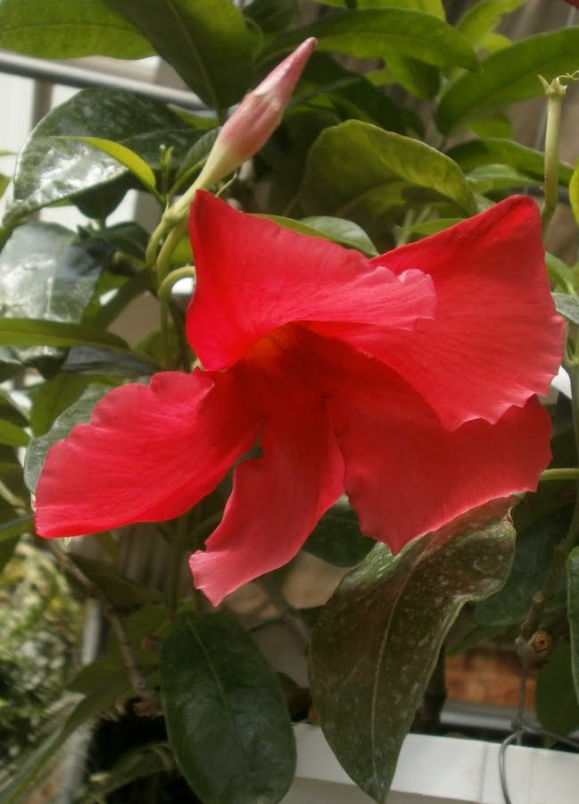 Growing Mandevilla: Plants Are The Strangest People: Pretty Pictures