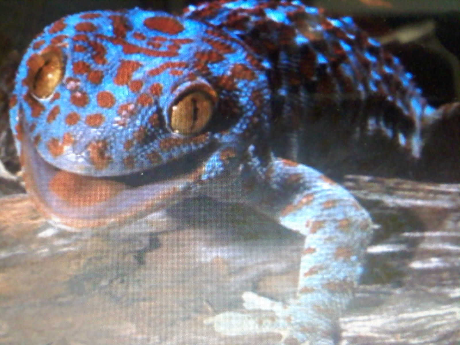 Pics For > Powder Blue Tokay Gecko