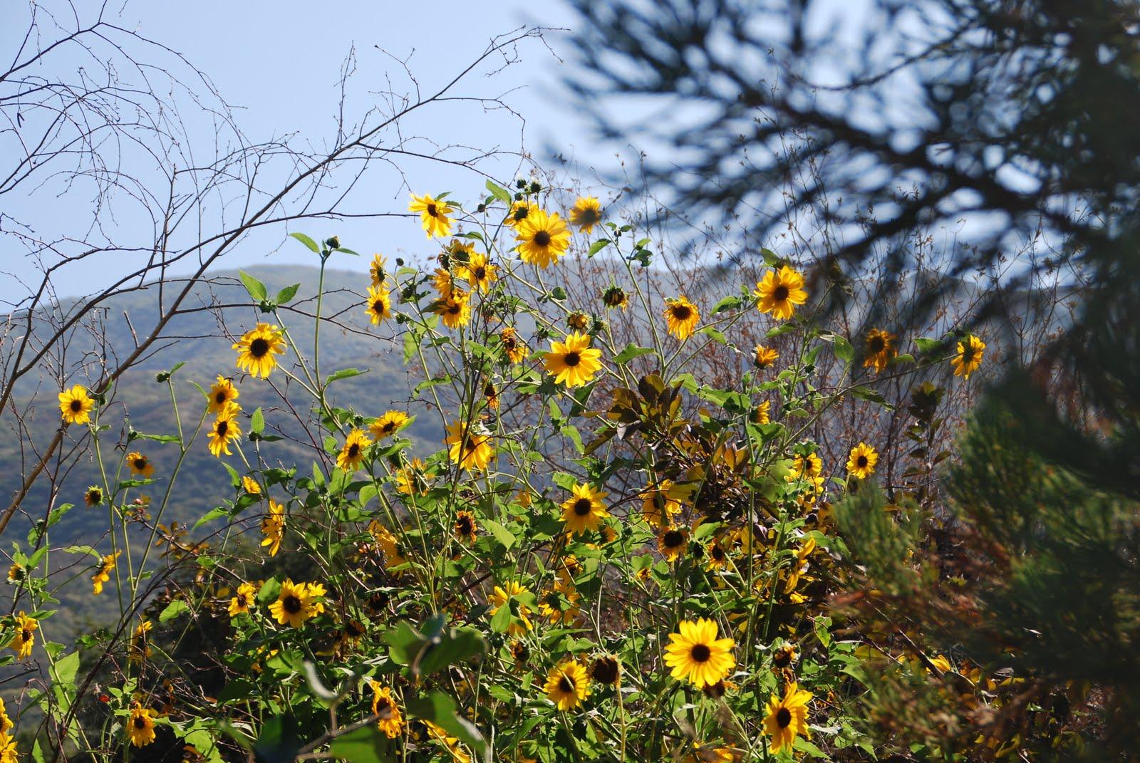 Desert Garden: Wild sunflowers~Today's Flowers 080810