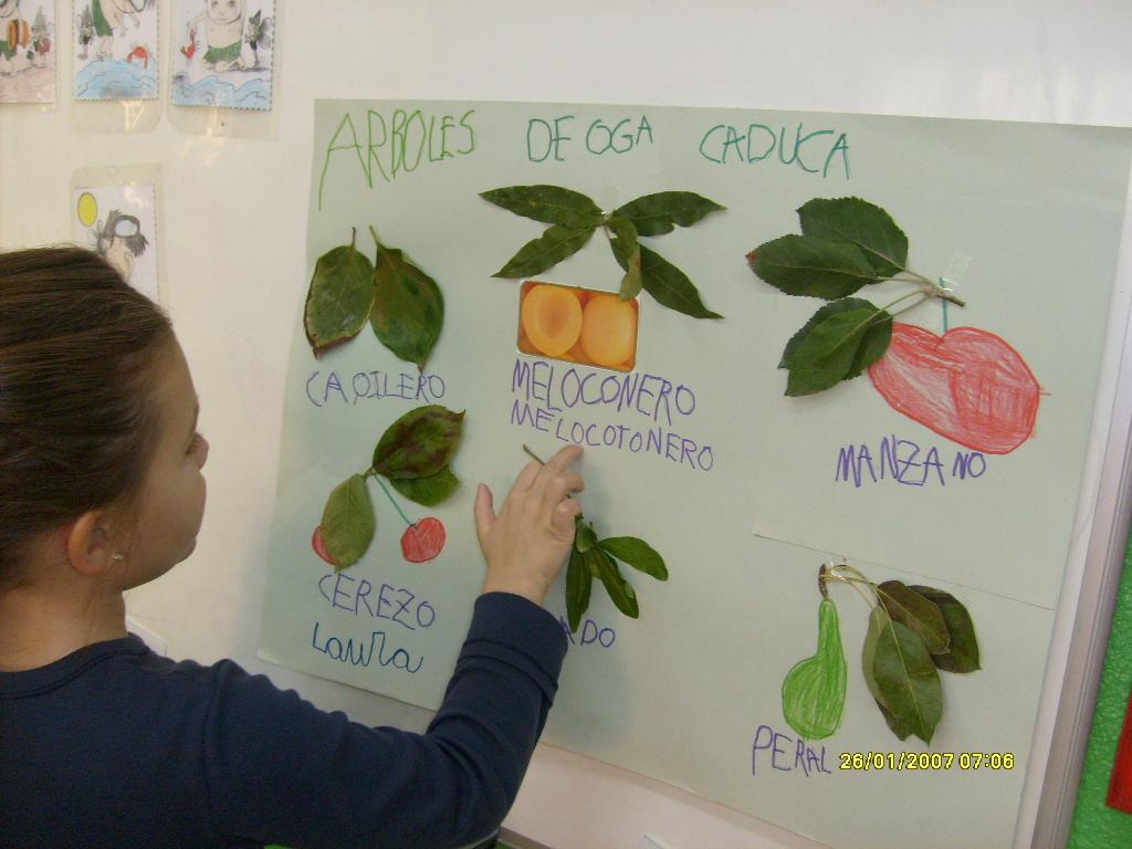El dia a dia de mi cole laura nos explica rbol de hoja for Arboles de hoja perenne para ninos