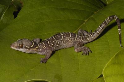 wie squirte ich vibrator gecko