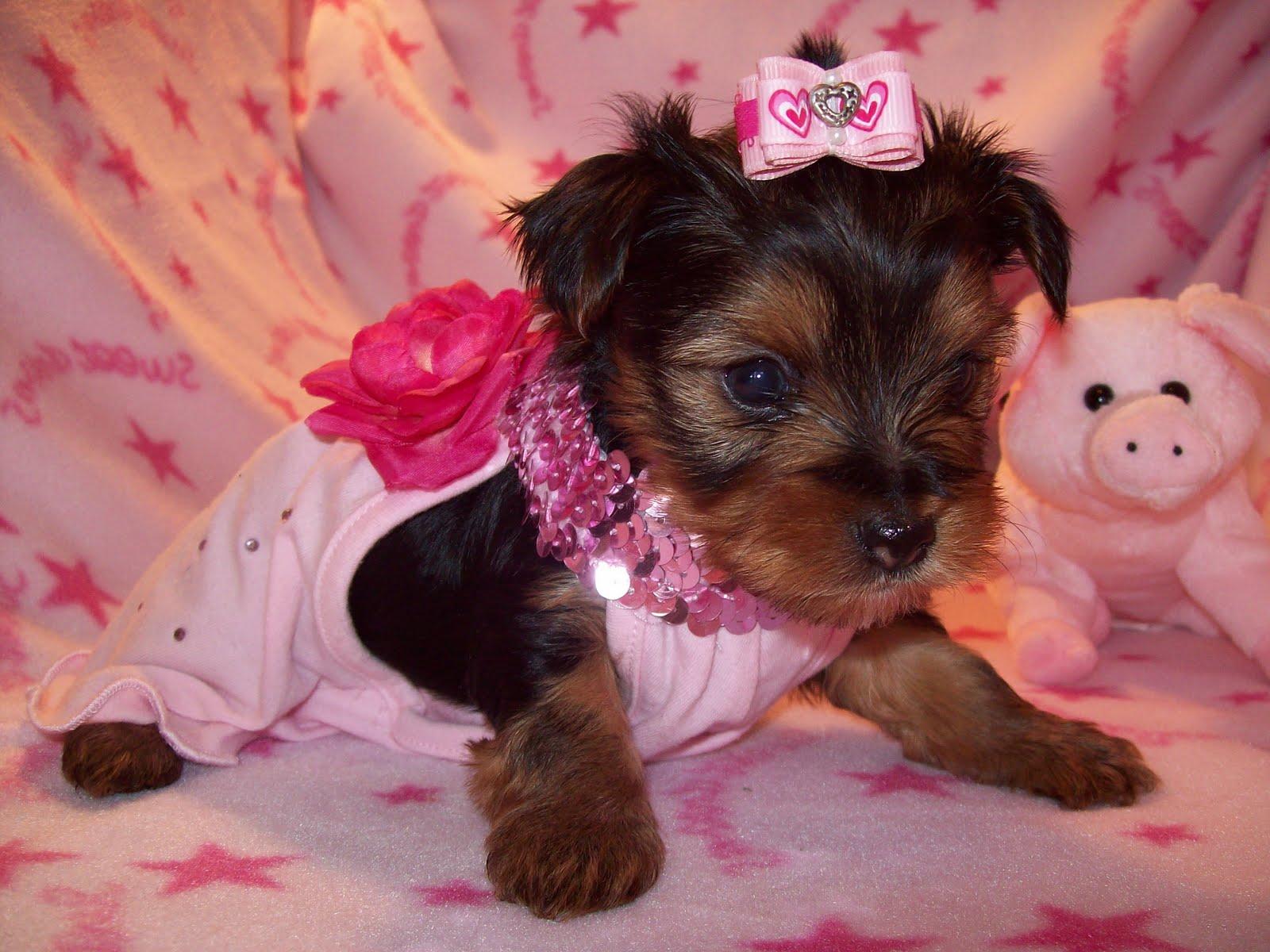Tiny Yorkie Puppies: Tiny Female Yorkie puppy