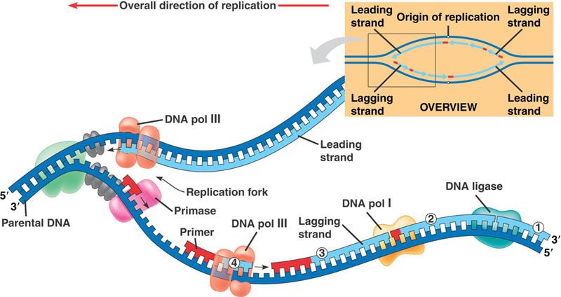 AP Biology at Wheaton HS: Ch16 DNA replication & Ch17 ...