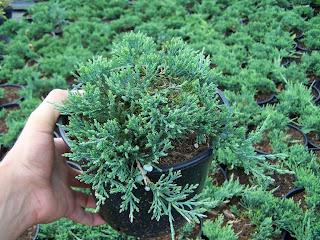 Jałowiec płożący (juniperus horizontalis) 'Wiltonii'
